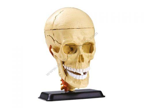 3D lik ljudske lubanje kranijalnog živčanog sustava