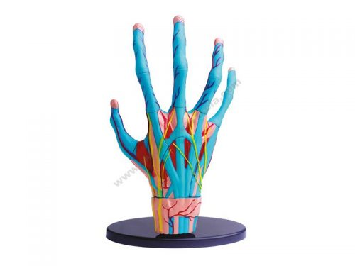 EI0014 3D lik unutrašnjeg tkiva ruke