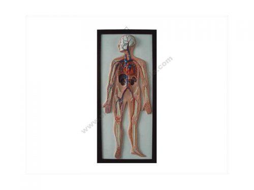 QH0017 3D ploča sustava krvne cirkulacije