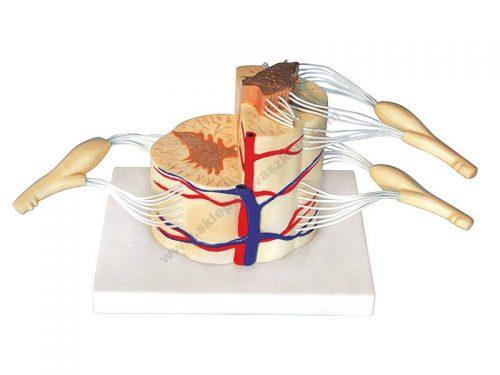 QH3308 3D lik leđne moždine sa živcima - demonstrativni komplet